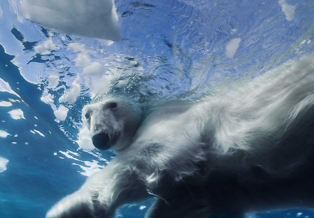 L'ours Blanc ©-L5R_René-Heuzey