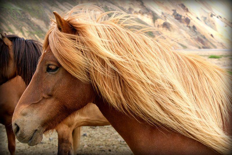 "Cheval islandais observé depuis notre voyage en Islande ""Au centre de la terre"""