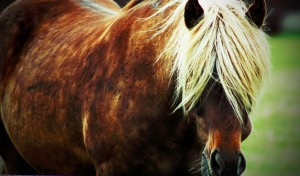 cheval-islandais