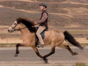 cheval-islandais-amble