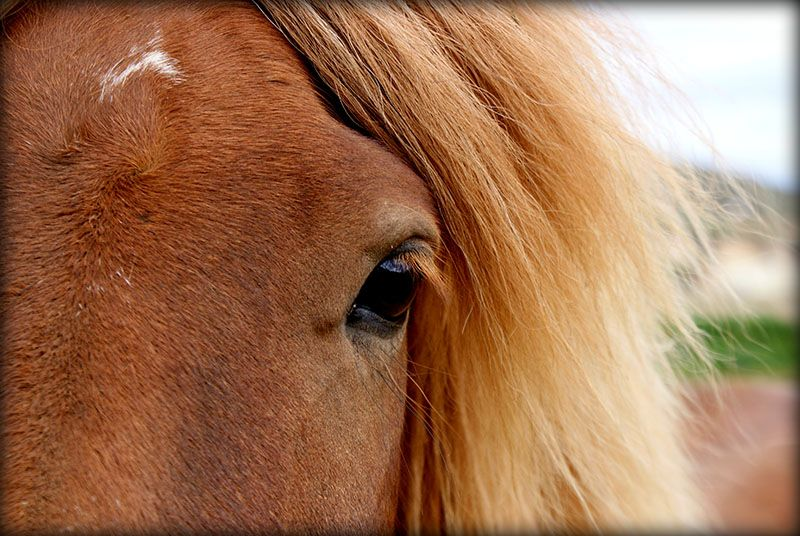 1er mai, journée internationale du cheval islandais