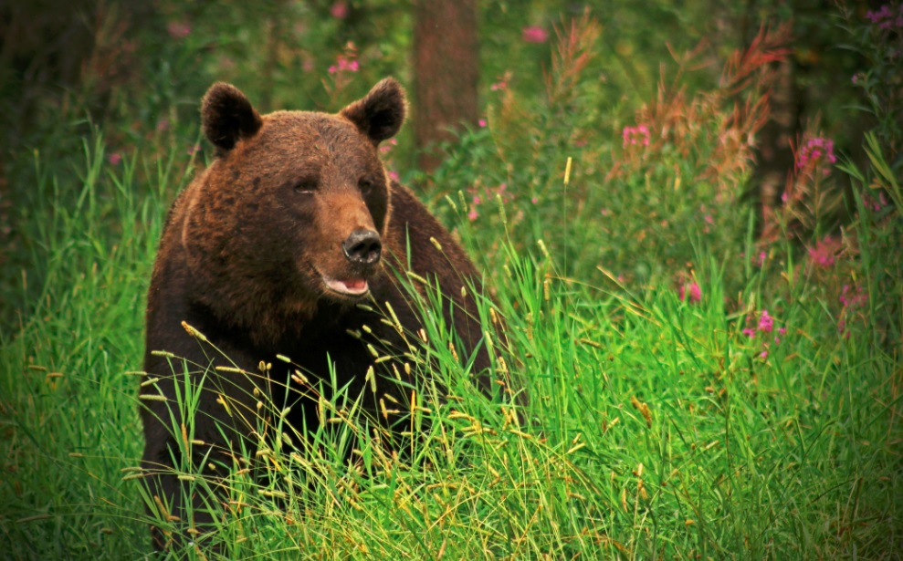 Finlande-ete-ours2