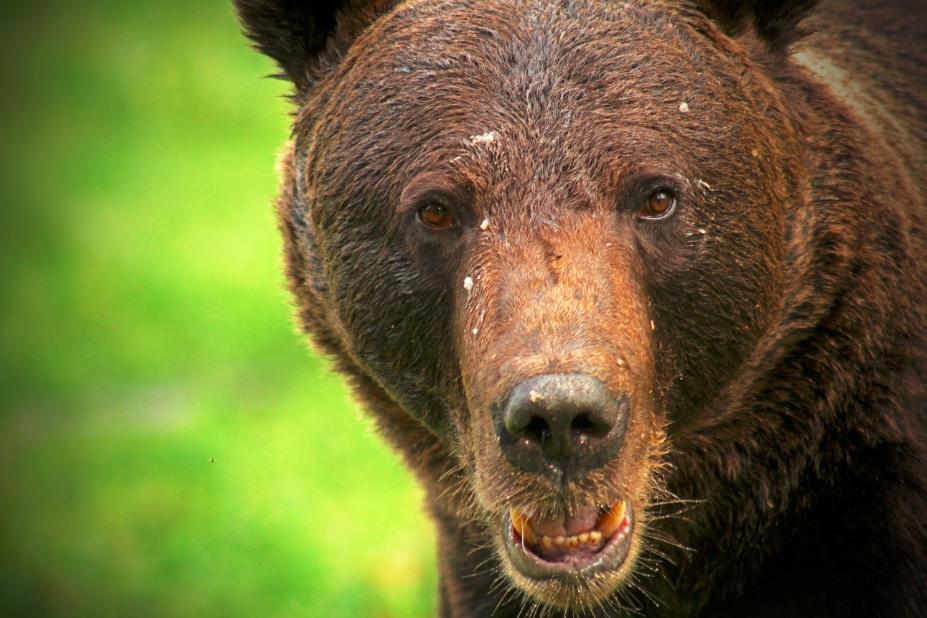 finlande-ete-ours1