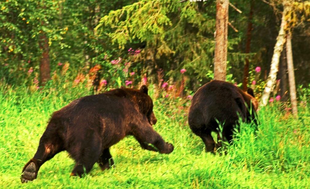 Ours en Finlande