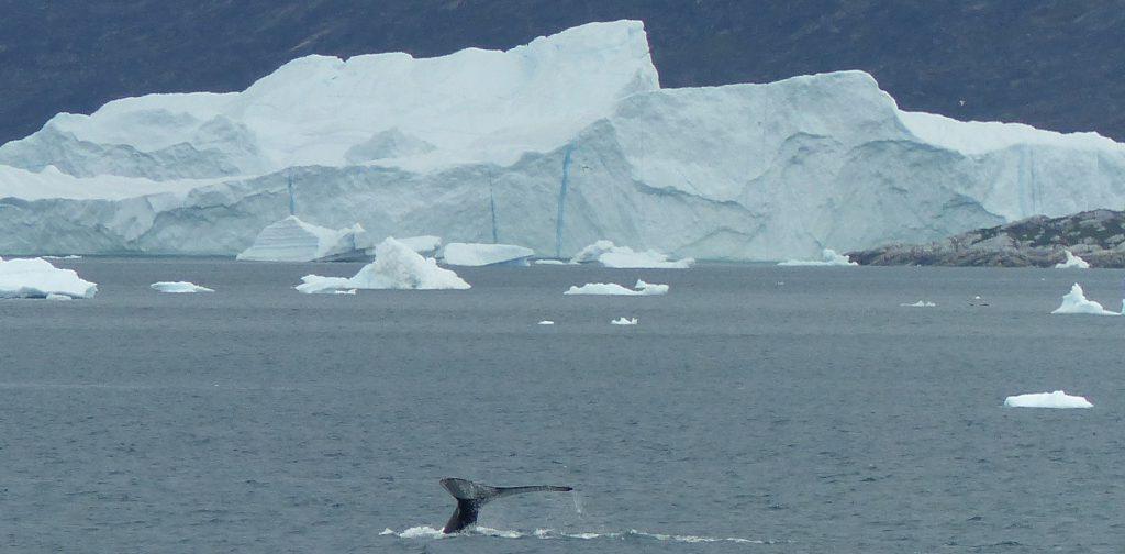 baie de disko - baleine