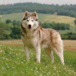husky de Sibérie