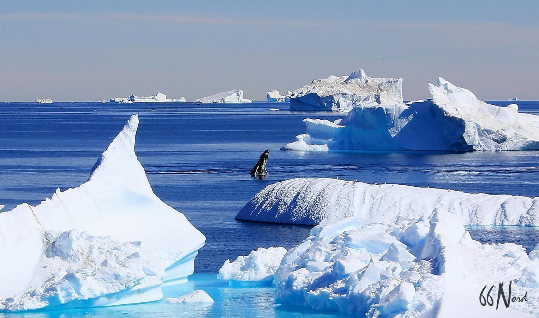 baleine au groenland au milieu des icebergs 66°Nord