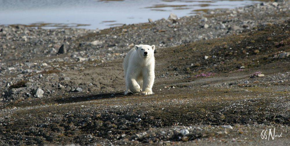 Ours blanc curieux en approche