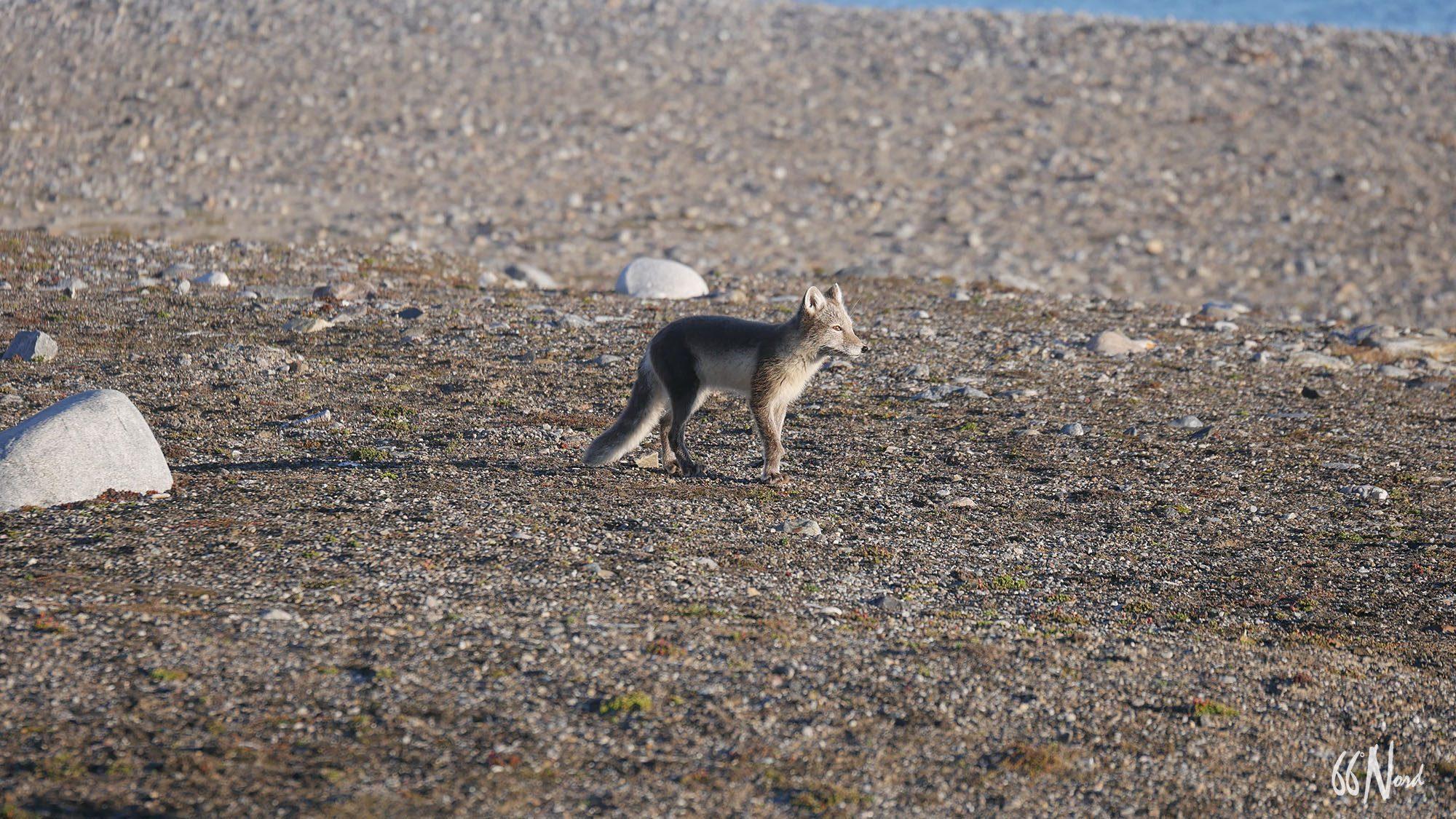 Renard arctique au Groenland en été