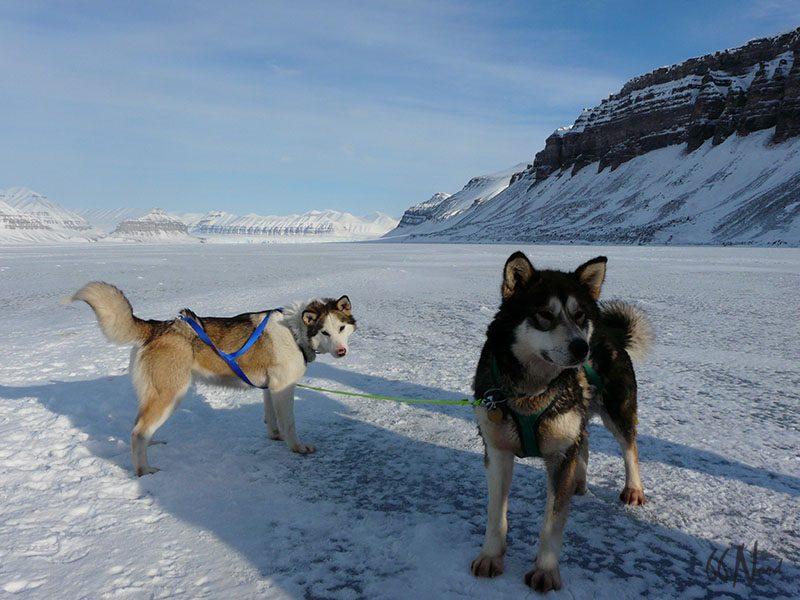 Les husky, chiens-loups du Spitzberg, Svalbard