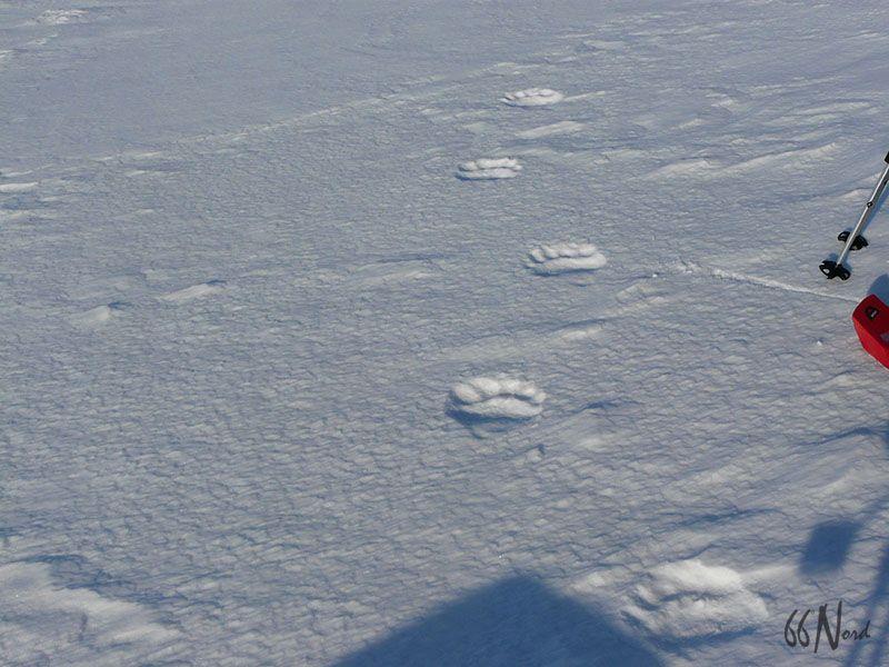 Traces d'ours polaire dans la neige, Spitzberg, Svalbard