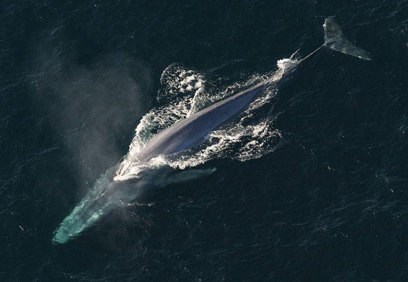 Baleine bleue Canada Québec