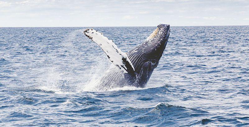 Baleine à bosse ©Thomas Kelley