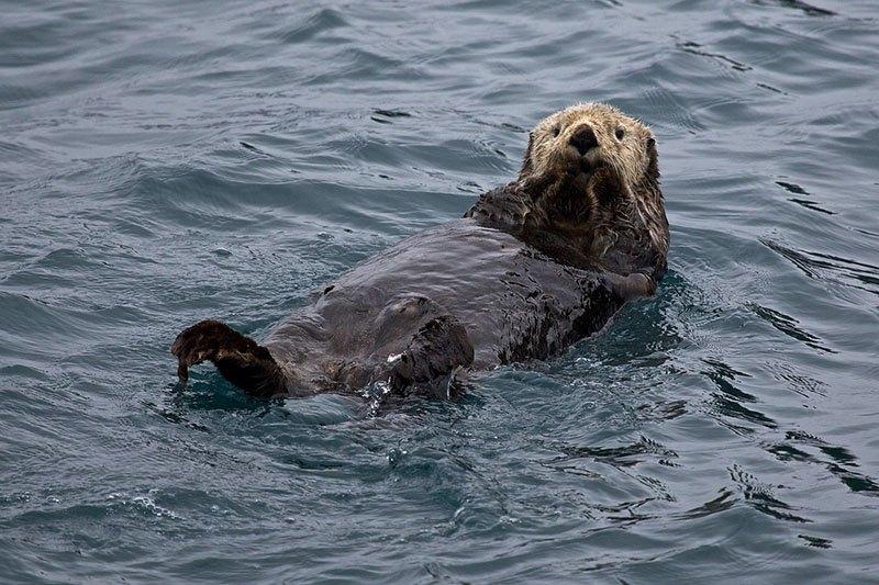 Loutre de mer en Alaska