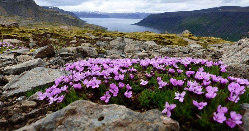 fleurs arctiques en Islande 66°Nord