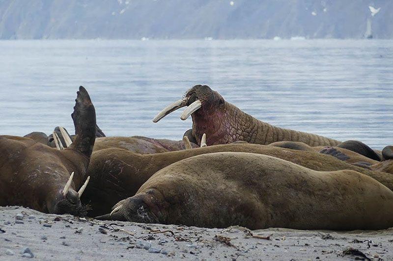 Morses du Svalbard observés lors du séjour Texas Bar ©Juliette Aumonier