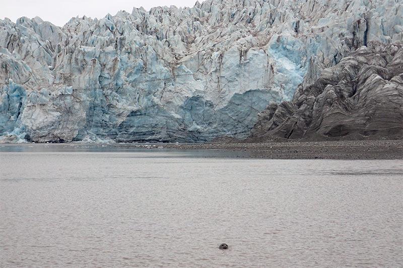 Phoque annelé au pied du glacier ©Amélie Désiré