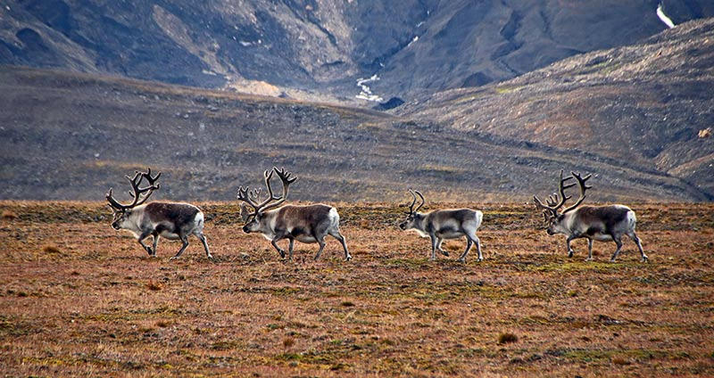 Rennes du Svalbard ©Guy Masson, voyageur 66°Nord