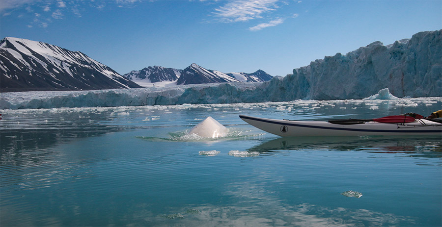 "Beluga curieux qui nage près de nos kayaks, Svalbard, voyage ""Texas Bar"" ©Yves Plaquevent, voyageur 66°Nord"