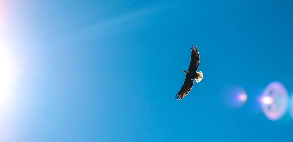 Pygargue à tête blanche, aigle américain © Rachel Pfuetzner