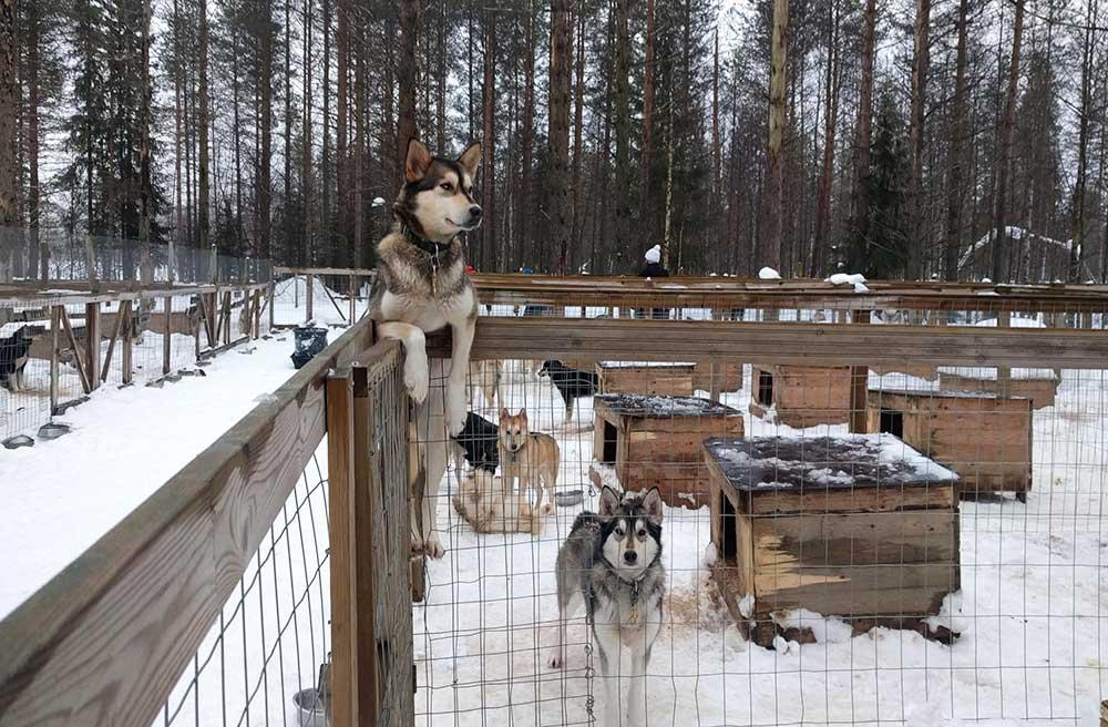 Chenil chiens de traîneau de Norwide en Finlande ©Caroline de F., équipe 66°Nord