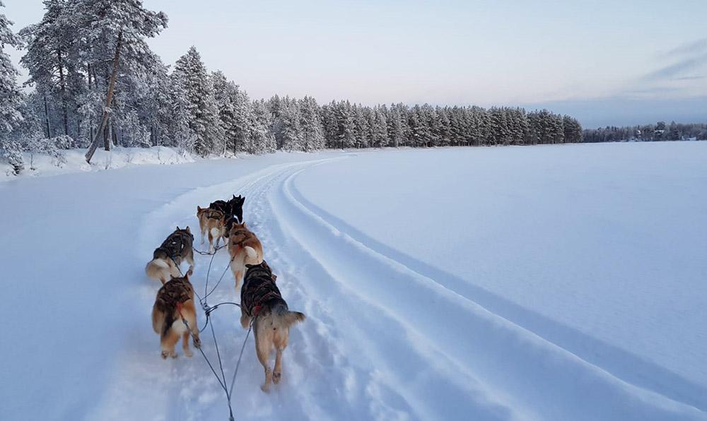 Chien de traîneau dans le parc national de Hossa, Finlande. ©Marion Pinon