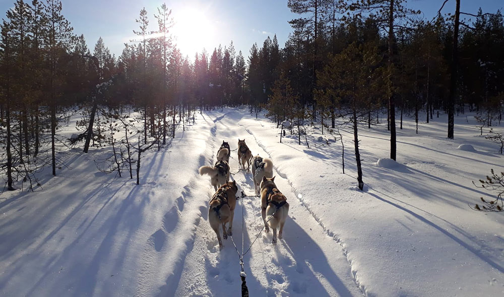 Chien de traineau en Laponie dans la taiga ©Maud Devouassoux, guide 66°nord