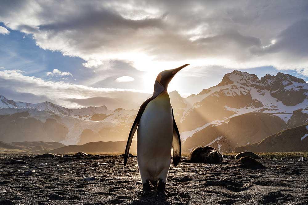 Manchot empereur en Antarctique. Crédit : Ian Parker.