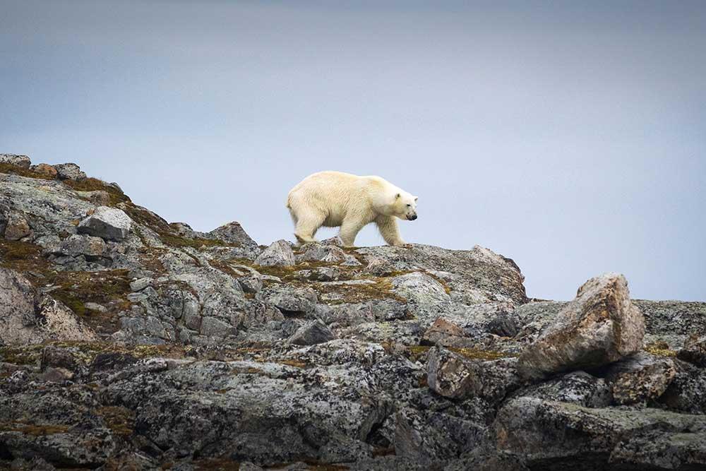 Ours polaire au Spitzberg. Crédit : Sébastien Roche