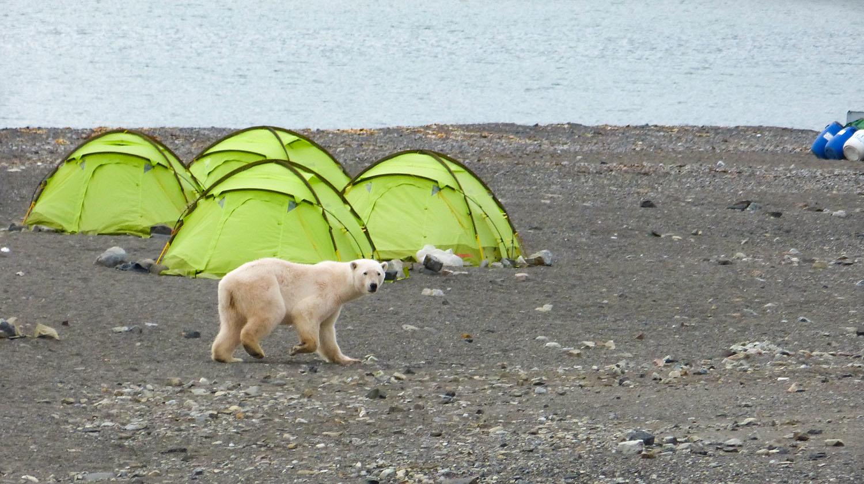 ours polaire voyage arctique