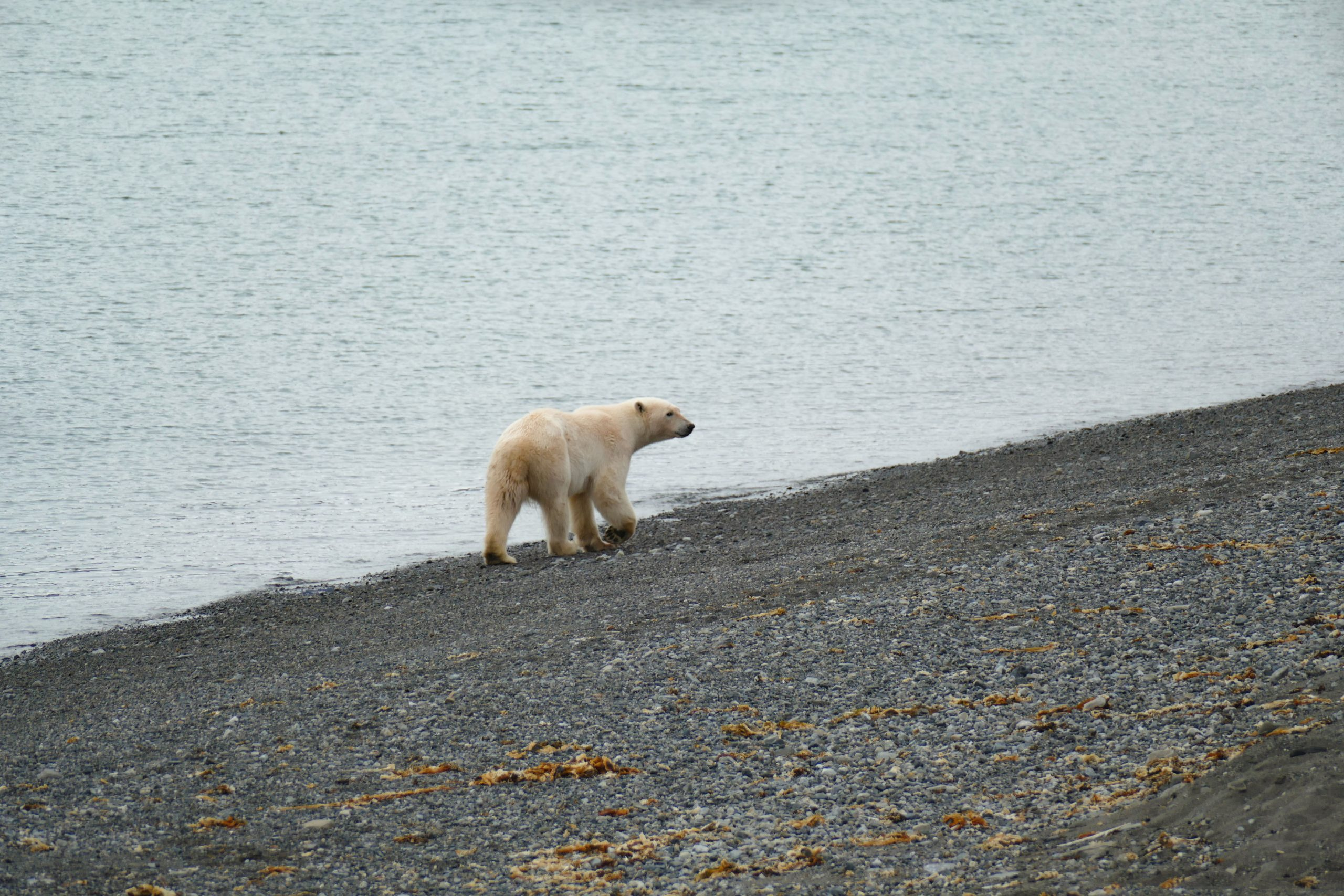 Ours polaire au Svalbard