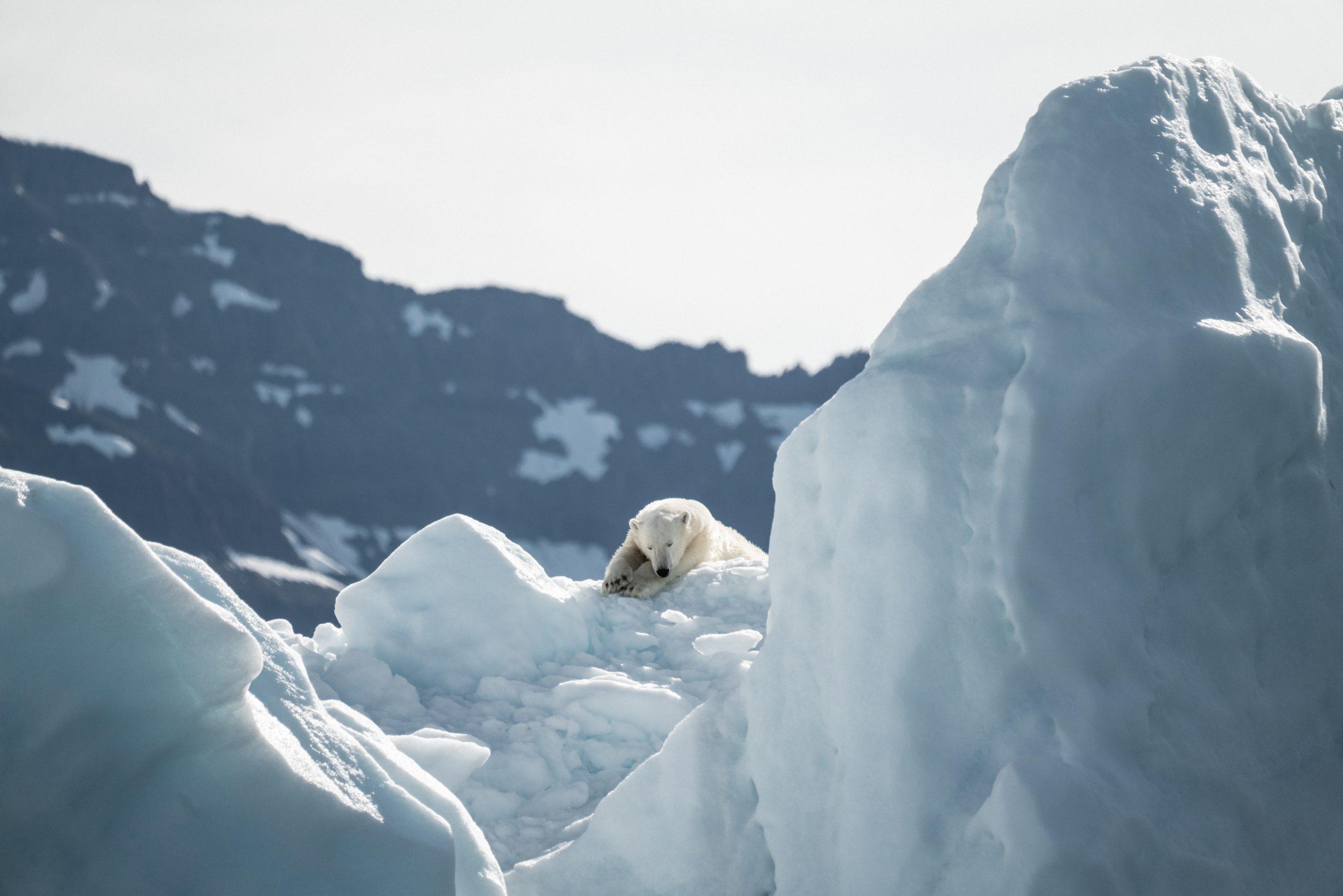 Ours blanc en Arctique sur la banquise