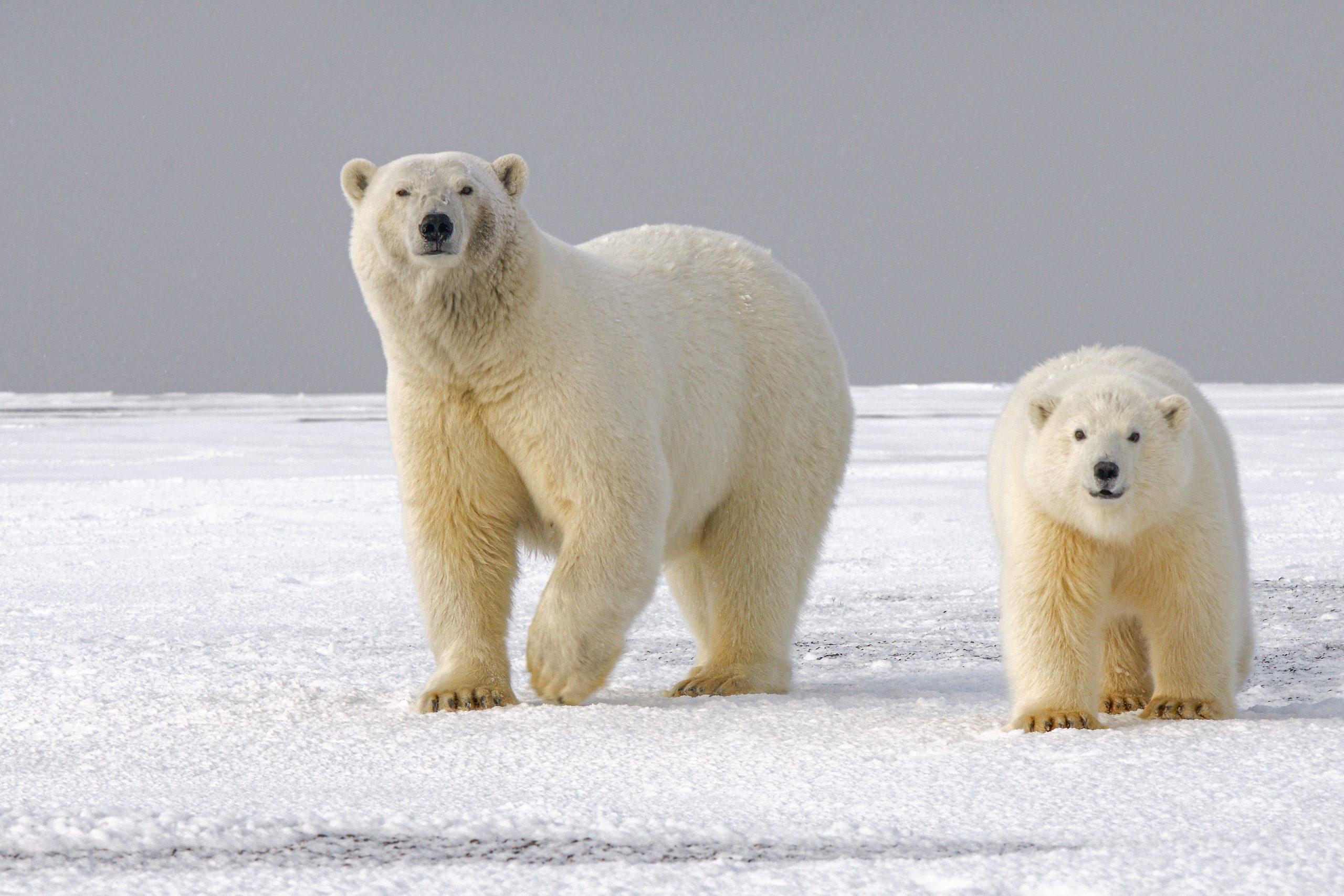 Ours polaires en Arctique