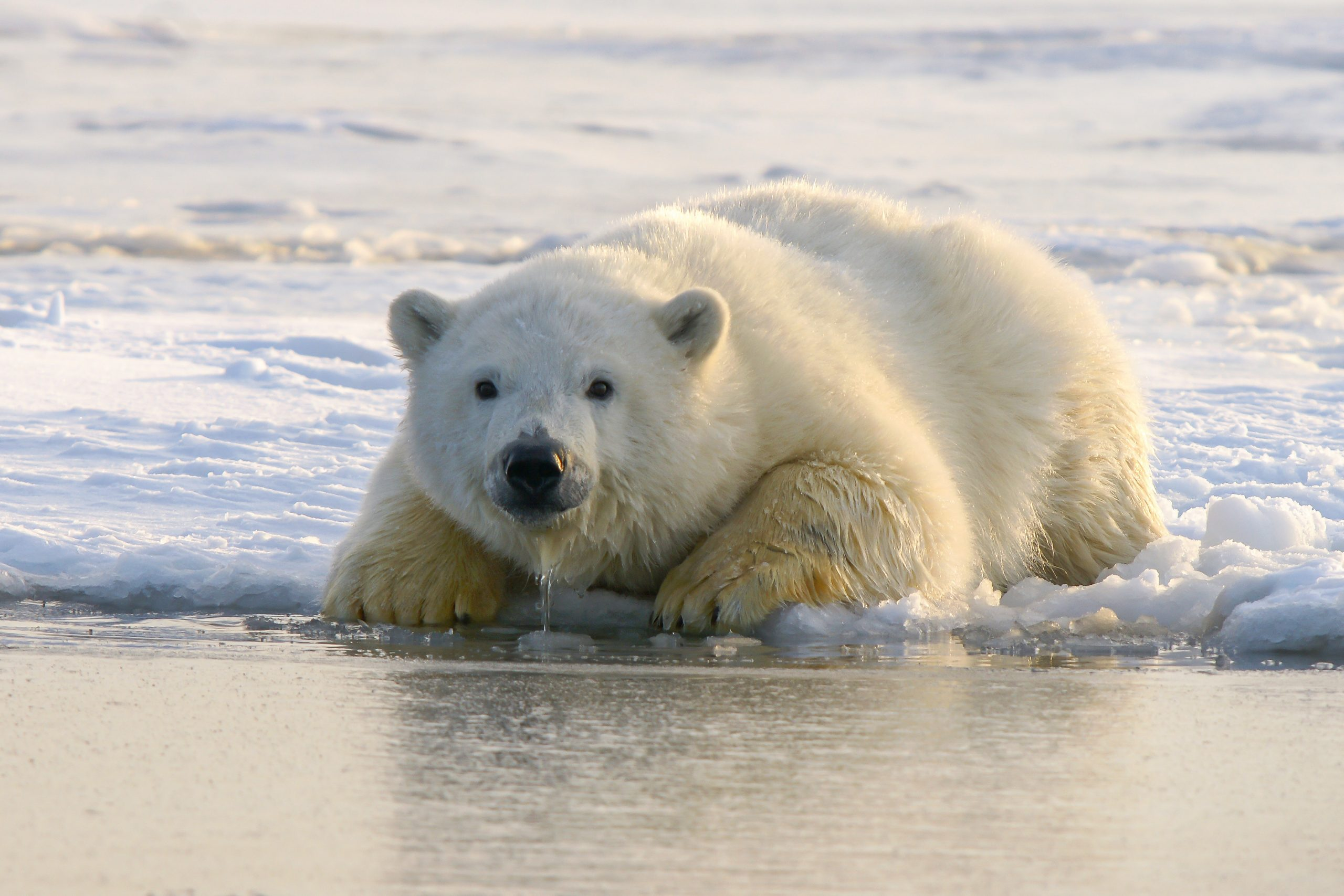 Ours polaire sur la banquise en Arctique