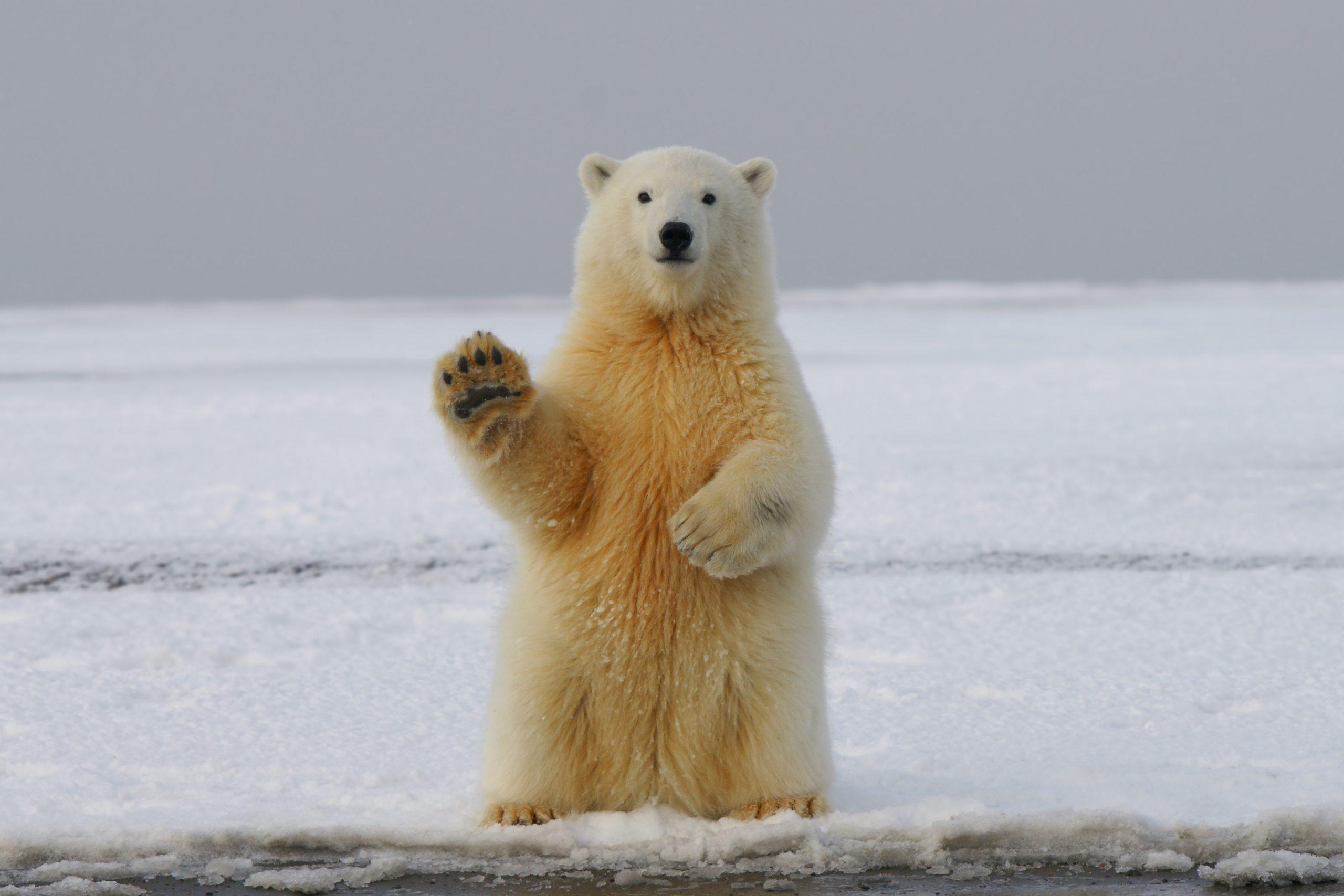 Quiz ours polaire : testez vos connaissances !