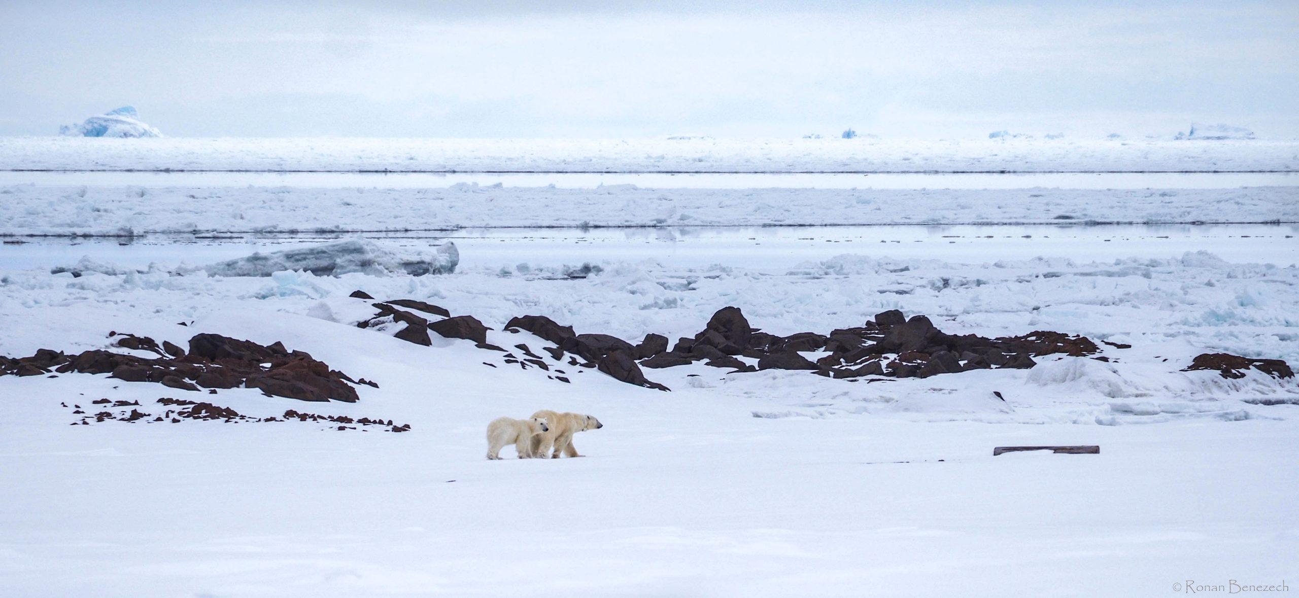 Ours polaires sur la banquise au Spitzberg