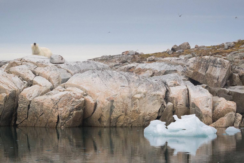 Ours polaire au Nord du Spitzberg
