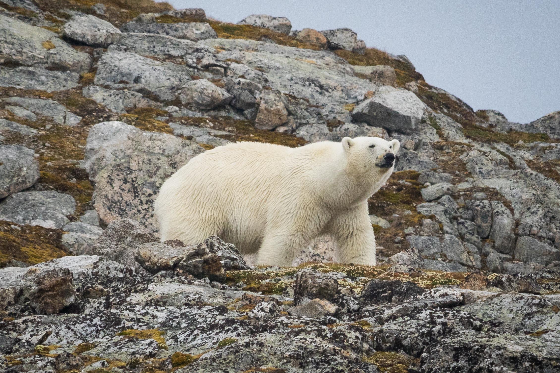 Ours polaire au Spitzberg, Arctique