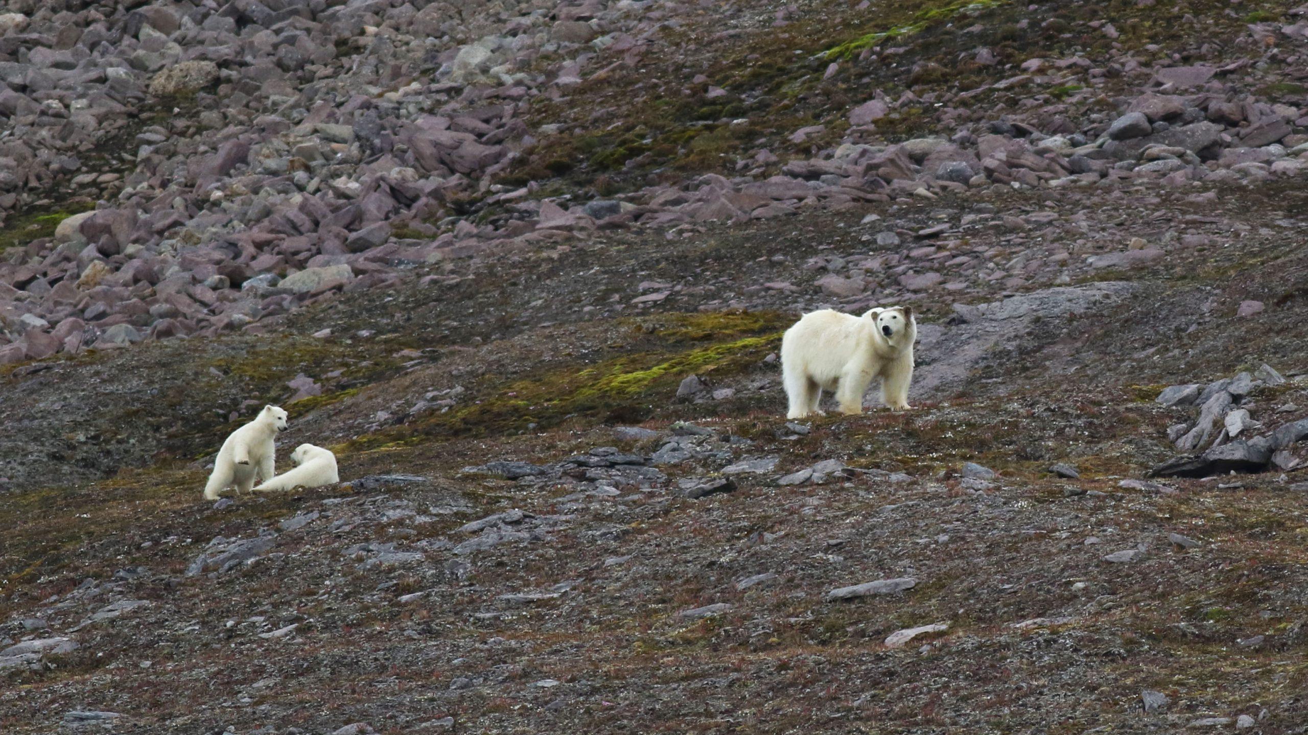 Ours polaires avec oursons en Arctique